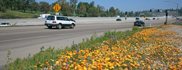 Wildflowers bloom along I-15 in North San Diego County
