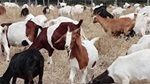 Caltrans using goats to remove invasive species